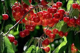 Thực phẩm chức năng chiết xuất từ cherry